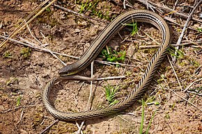 Description de l'image Striped legless lizard.jpg.