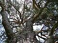 Strom roka borovica velke borove 03.jpg
