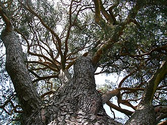 Branch - Looking up into the branch structure of a Pinus sylvestris tree