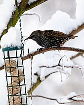 Starling at bird feeder