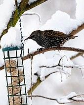 Estornino pinto en el alimentador de pájaros