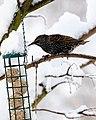 Sturnus vulgaris -England -bird feeder-8.jpg