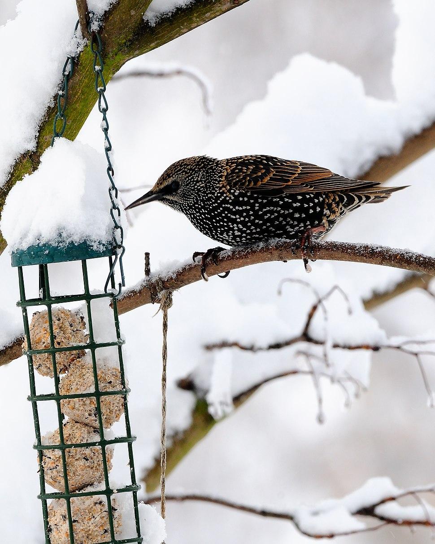 Sturnus vulgaris -England -bird feeder-8