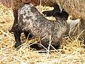 Suckling Lamb.jpg