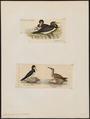 Sula fiber - 1700-1880 - Print - Iconographia Zoologica - Special Collections University of Amsterdam - UBA01 IZ18000059.tif