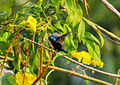 Sunbird fly 1.jpg