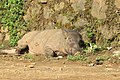 Sus scrofa - Wild boar during Periyar butterfly survey at Sabarimala, 2014 (26).jpg