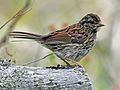 Swamp Sparrow RWD maine.jpg