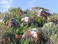 Swartland Shale Renosterveld at Tygerberg Reserve Cape Town.jpg