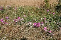 Sweet peas by the line - geograph.org.uk - 936818