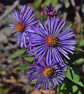 <i>Symphyotrichum novae-angliae</i> Species of flowering plant in the family Asteraceae native to eastern North America