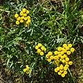 Tansy (Tanacetum vulgare) - Oslo, Norway.jpg