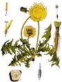Taraxacum dens - lionis-American Medicinal Plants-095 0521.png