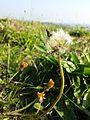 Taraxacum serotinum sl25.jpg