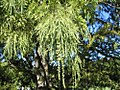Taxodium distichum Pendens 1zz.jpg