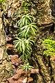 Taxus uitgezaaid in een knotwilg. 08-01-2020. (d.j.b). 01.jpg