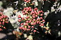 Teguise Guatiza - Jardin - Euphorbia caerulescens 03 ies.jpg