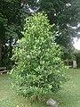 Tembusu tree.jpg