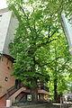 Ternopilska-lypa-14055777.jpg