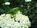 Tettigonia viridissima, Spomen park Bubanj 1.jpg