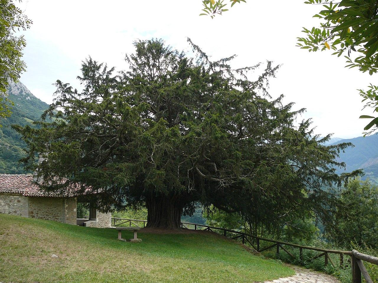 Tejo de Bermiego, en Quirós (Asturias), que está considerado el más antiguo de España: se calcula que tiene más de 2.000 años. Fue declarado Monumento Natural en 1995.