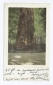 The Giant - Big Redwood Tree, Santa Cruz, Calif (NYPL b12647398-62761).tiff