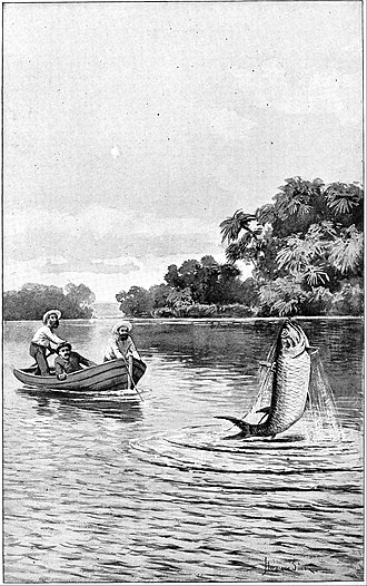 Tarpon - A speared tarpon leaps from the water in an 1894 illustration by Hermann Simon