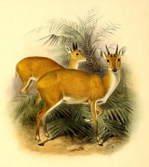 Four-horned antelope - An illustration of the four-horned antelope from The Book of Antelopes (1894)