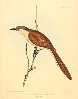 Cocos cuckoo Species of bird