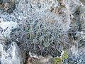 Thelocactus tulensis ssp. matudae (5726894783).jpg