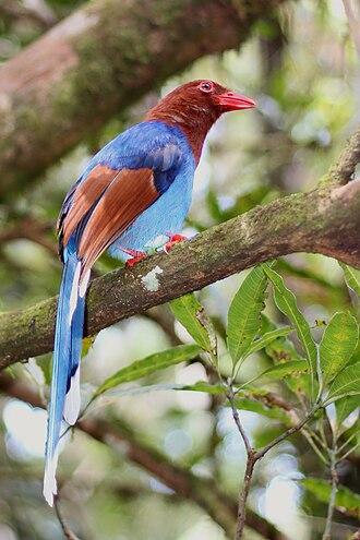 Magpie - Image: Thimindu 2010 02 20 Sinharaja Sri Lanka Blue Magpie 1