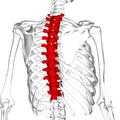 Thoracic vertebrae back5.png