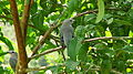 Thraupis sayaca feeding on guavas (2835905475).jpg