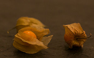 Physalis - Physalis sp. fruit with husk