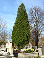 Thuja occidentalis MC.JPG