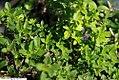 Thymus serpyllum 2zz.jpg