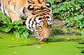 Tiger (15508332360).jpg