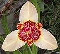 Tigridia pavonia flower (4907944976).jpg