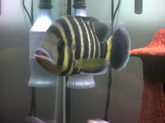 A Zebra Tilapia in an aquarium