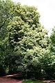 Tilia × euchlora JPG1A.jpg