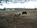 Tiny Ponies - geograph.org.uk - 128559.jpg