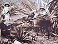 Tlachiqueros otomíes de Tequixquiac.jpg