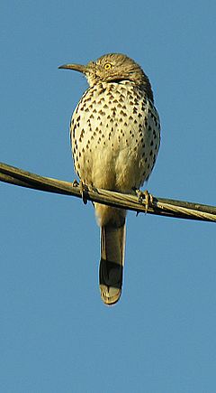 Toxostoma cinereum-- The Grey Thrasher (27535218415).jpg