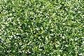 Trachelospermum jasminoides kz1.jpg