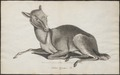 Tragulus pygmaeus - 1700-1880 - Print - Iconographia Zoologica - Special Collections University of Amsterdam - UBA01 IZ21500168.tif