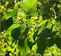 Tree Farm, Tree Leaves 12-8-12b (8269249105).jpg