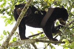 L'ours à lunettes grimpe très bien aux arbres.
