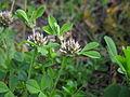 Trifolium glomeratum flowerhead15 (15677819095).jpg