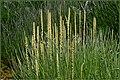 Triglochin maritimum inflorescence (19).jpg
