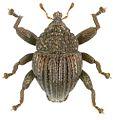 Trigonopterus scabrosus holotype - ZooKeys-280-001-g074.jpg